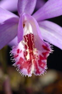 Pleione bulb flower