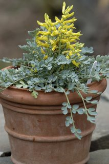 Alpine house Corydalis wilsonii from seed