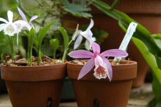 Pots of Pleione in the greenhouse