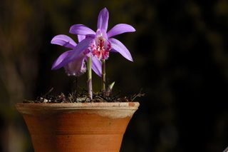 Pot of Pleione orchids