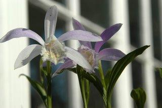 Pleione orchid blossoms
