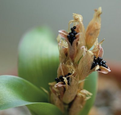 Raising lachenalia from seed