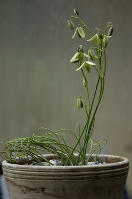 Albuca bulb in bloom