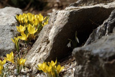 Siberian crocus in rock garden
