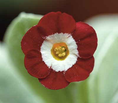 Red Self  Primula auricula