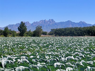 Organ Mountains and Cabbage