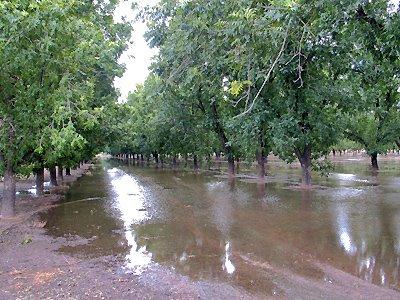 Flood Irrigation of Pecans