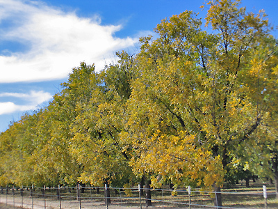 Pecan Trees - Mesilla