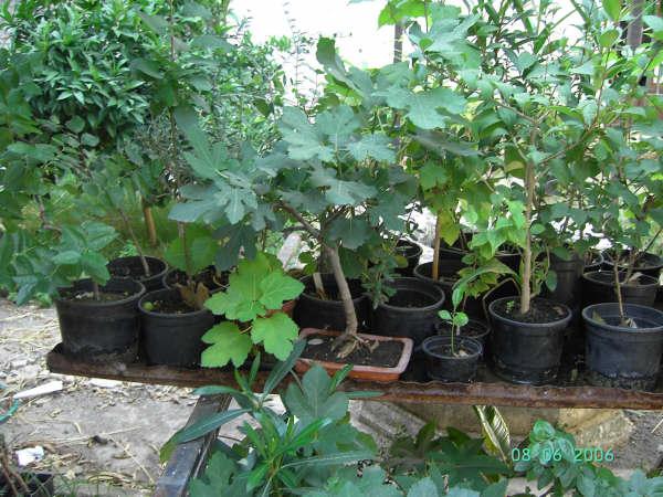 Biolog a y geolog a patio del mandarino - Como se cuida un bonsai ...