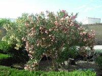 Adelfa rosa y adelfa blanca