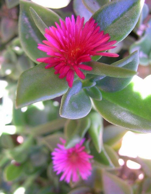 sud berbere fleur rose d 39 une plante grasse faisant tapis. Black Bedroom Furniture Sets. Home Design Ideas