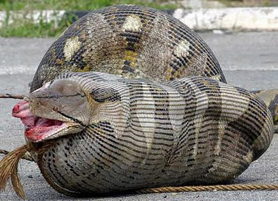 python after eating a pregnant ewe