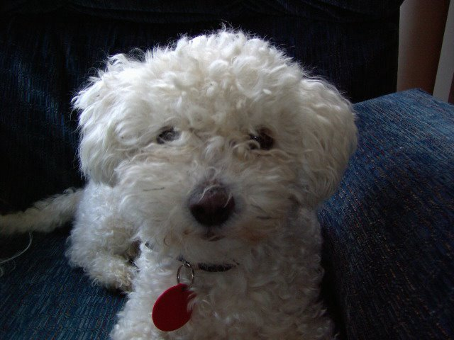 Dogs Maltese And Bichons