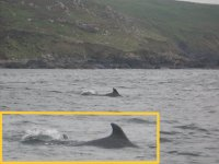 Dolphins off the coast in Cornwall