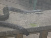 Another Black Rat Snake on our decking