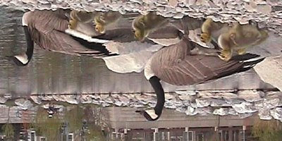 Canadian geese and goslings.