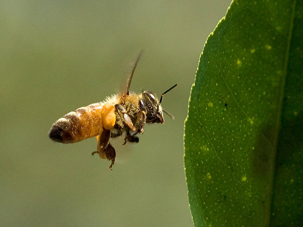 Speaker For The Animals The Bee Power Of Collective Consciousness