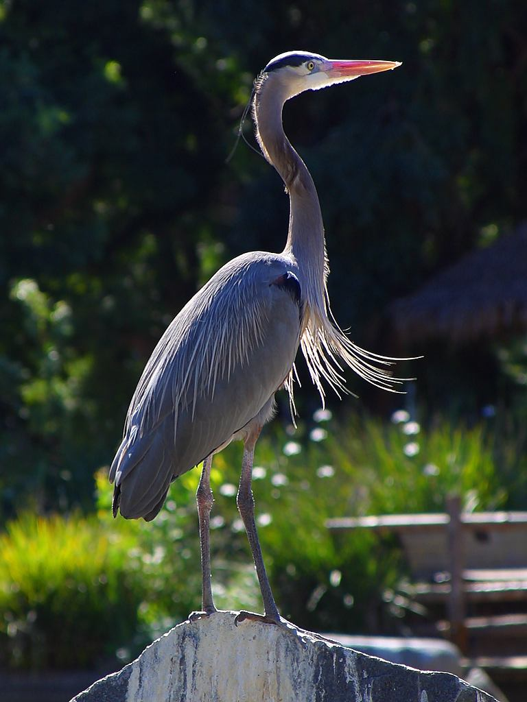 Why does the heron stand on one leg? Habitat and particular lifestyle of the bird 90