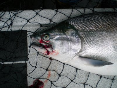 Silver salmon AKA coho