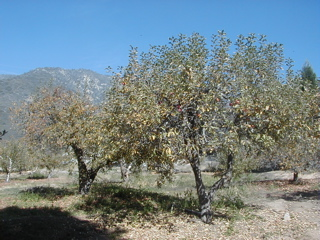 Oak Glen apple trees