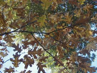 Oak leaves near Oak Glen Schoolhouse