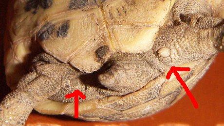 Kaplumbağa Kara Kaplumbağalarimiz