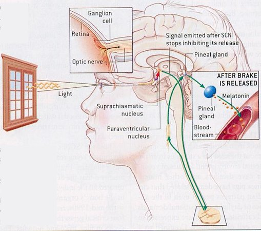 Circadiana: Lithium, Circadian Clocks and Bipolar Disorder Molecular Clock Human