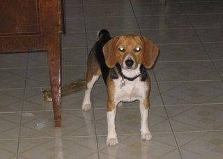 Cucciola di razza beagle