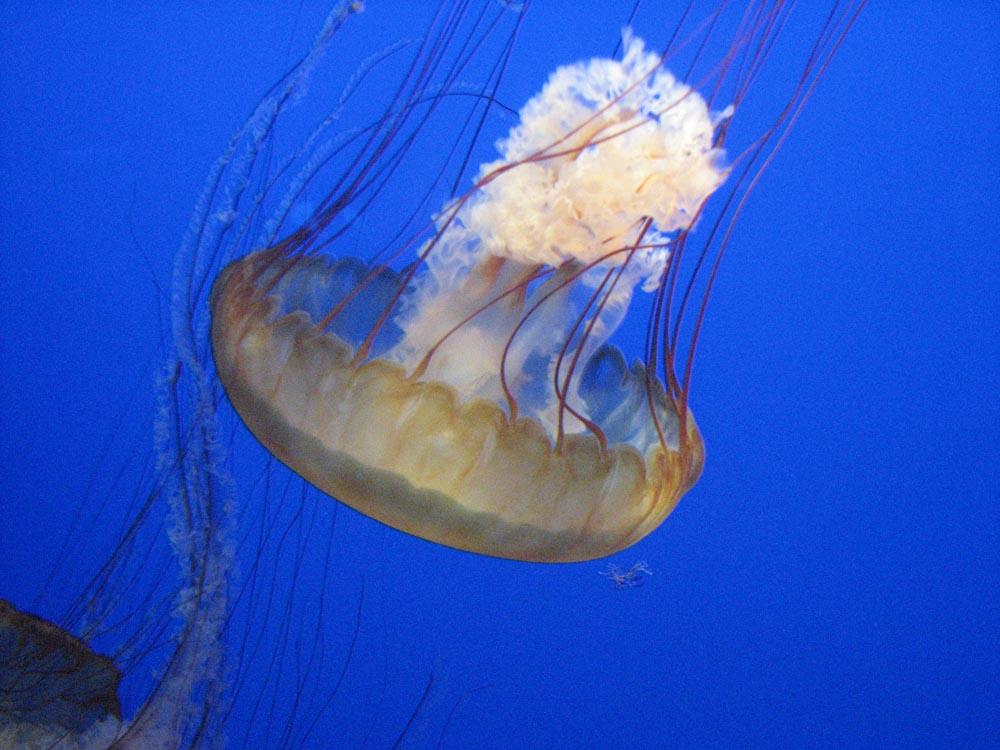 monterey aquarium jellyfish