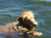 Swimming Duck Toller