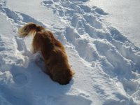 Kenya the Nova Scotia Duck toller digs for gold!