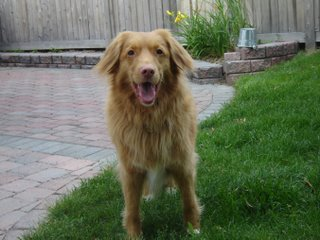 Picture of Kenya the Nova Scotia Duck Tolling Retriever