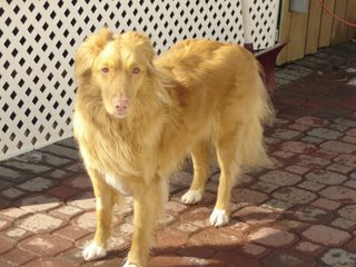 Kenya the Nova Scotia Duck Tolling Retriever