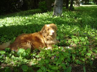 Photo of Kenya the Nova Scotia Duck Tolling Retriever
