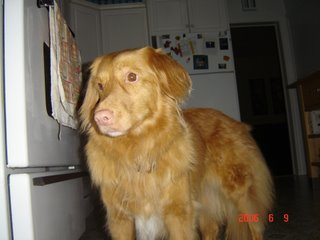 Kenya the Nova Scotia Duck tolling retriever photo