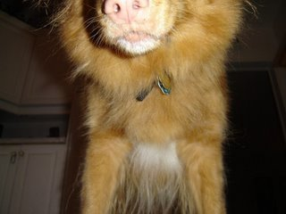 Kenya the Duck Toller as Arnold Schwarzentoller!