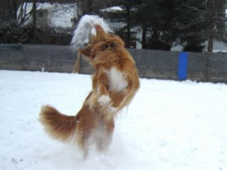 Kenya the duck toller attacking a snowball!