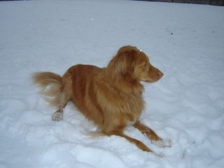 Kenya the Duck Toller