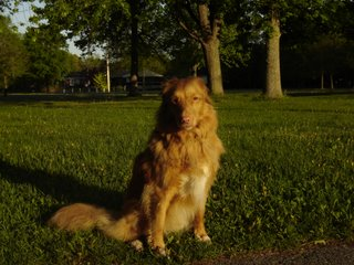Photo of Kenya the Nova Scotia Duck Toller