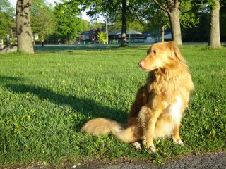 Kenya the Nova Scotia Duck tolling retriever photo.