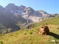 Vache de la race tarine, à proximité du refuge de Péclet Polset