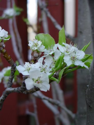 Bradford Flowering Pear, Pyrus calleryana