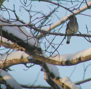 cedar waxwing on snowy branch