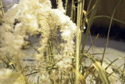snowgrass2