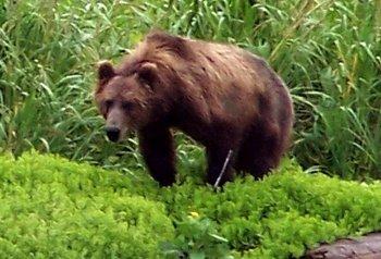 Bad Bad Bear
