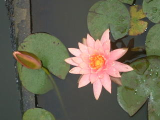 Pink lotus in pond at Taiwan National Botanical Garden