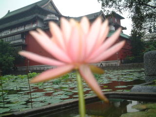 Purple lotus in pond and National History Museum at Taiwan National Botanical Garden