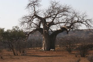 The Baobab: Africa's Upside-Down Tree...