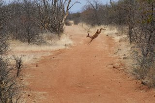 An impala leaping its way across the road...