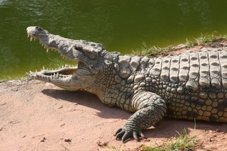 Open wide (did you know that crocodiles don't have tongues?)...